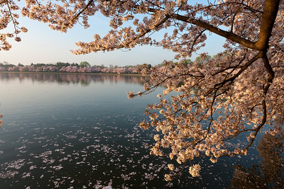 Cherry blossoms around the Tidal Basin. This year's National Cherry Blossom Festival honors the 100-year anniversary of the gift of trees (Image taken by Patrick R. Kane on 23 Mar 2012 with Canon EOS 5D at ISO 100, f22.0, 1/10 sec and 21mm)