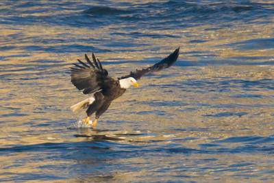 A bald eagle grabbing a fish at Conowingo Dam (Image taken by Patrick R. Kane on 21 Nov 2012 with Canon EOS-1D Mark IV at ISO 640, f5.6, 1/2500 sec and 560mm)