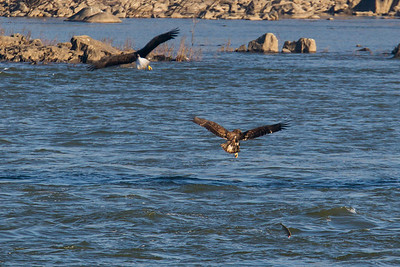 Two bald eagles fought over a fish and ended up dropping it back in the water at Conowingo Dam (Image taken by Patrick R. Kane on 21 Nov 2012 with Canon EOS-1D Mark IV at ISO 400, f8.0, 1/1000 sec and 560mm)