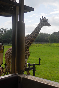 Giraffe, Kilimanjaro Safaris Expedition at Disney's Animal Kingdom (Image taken by Sydney J. Kane on 28 May 2012 with COOLPIX S570 at ISO 80, f5.4, 1/500 sec and 5mm)