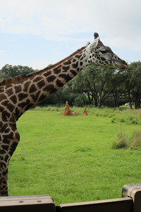 Giraffe, Kilimanjaro Safaris Expedition at Disney's Animal Kingdom (Image taken by Kathy L. Kane on 28 May 2012 with Canon PowerShot ELPH 100 HS at ISO 0, f3.5, 1/1250 sec and 8mm)