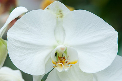 An orchid in the greenhouse at Hillwood Estate, Museum & Gardens (Image taken by Patrick R. Kane on 29 Sep 2012 with Canon EOS-1D Mark III at ISO 400, f8.0, 1/125 sec and 200mm)