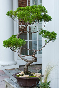 A bonsai tree outside the visitor center at Hillwood Estate, Museum & Gardens (Image taken by Patrick R. Kane on 29 Sep 2012 with Canon EOS-1D Mark III at ISO 400, f10.0, 1/80 sec and 75mm)