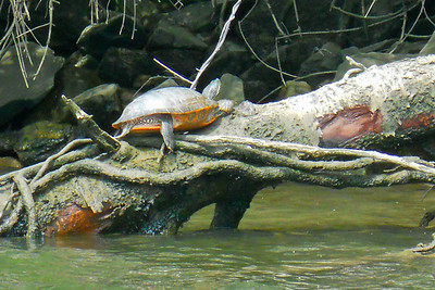 A turtle along the banks of the Potomac River (Image taken by Patrick R. Kane on 04 Apr 2012 with COOLPIX S570 at ISO 400, f6.6, 1/250 sec and 35mm)