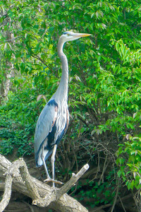 A great blue heron as seen along the banks of the Potomac River during a day of kayaking for Patrick and Christopher (Image taken by Patrick R. Kane on 04 Apr 2012 with COOLPIX S570 at ISO 200, f6.6, 1/125 sec and 25mm)