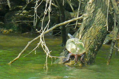 A turtle along the banks of the Potomac River (Image taken by Patrick R. Kane on 04 Apr 2012 with COOLPIX S570 at ISO 500, f6.6, 1/250 sec and 35mm)