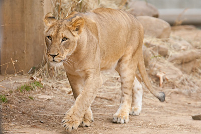 This was the last weekend the seven young lions born from two litters at the National Zoo in August and September 2010 are expected to be together. The males will be separated from the females, and eventually they'll all be sent to other zoos. (Image taken by Patrick R. Kane on 19 Feb 2012 with Canon EOS-1D Mark III at ISO 800, f4.0, 1/800 sec and 400mm)