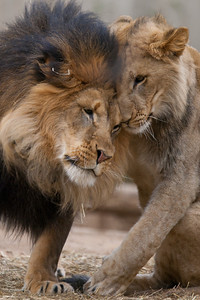 This was the last weekend the seven young lions born from two litters at the National Zoo in August and September 2010 are expected to be together. The males will be separated from the females, and eventually they'll all be sent to other zoos. (Image taken by Patrick R. Kane on 19 Feb 2012 with Canon EOS-1D Mark III at ISO 400, f4.0, 1/500 sec and 400mm)