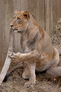 This was the last weekend the seven young lions born from two litters at the National Zoo in August and September 2010 are expected to be together. The males will be separated from the females, and eventually they'll all be sent to other zoos. (Image taken by Patrick R. Kane on 19 Feb 2012 with Canon EOS-1D Mark III at ISO 400, f4.0, 1/800 sec and 400mm)