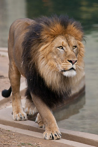 This was the last weekend the seven young lions born from two litters at the National Zoo in August and September 2010 are expected to be together. The males will be separated from the females, and eventually they'll all be sent to other zoos. (Image taken by Patrick R. Kane on 19 Feb 2012 with Canon EOS-1D Mark III at ISO 400, f4.0, 1/640 sec and 400mm)
