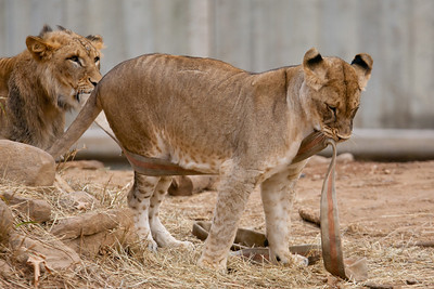This was the last weekend the seven young lions born from two litters at the National Zoo in August and September 2010 are expected to be together. The males will be separated from the females, and eventually they'll all be sent to other zoos. (Image taken by Patrick R. Kane on 19 Feb 2012 with Canon EOS-1D Mark III at ISO 400, f4.0, 1/1000 sec and 400mm)