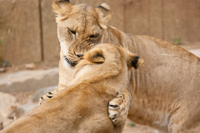 This was the last weekend the seven young lions born from two litters at the National Zoo in August and September 2010 are expected to be together. The males will be separated from the females, and eventually they'll all be sent to other zoos. (Image taken by Patrick R. Kane on 19 Feb 2012 with Canon EOS-1D Mark III at ISO 400, f4.0, 1/400 sec and 400mm)