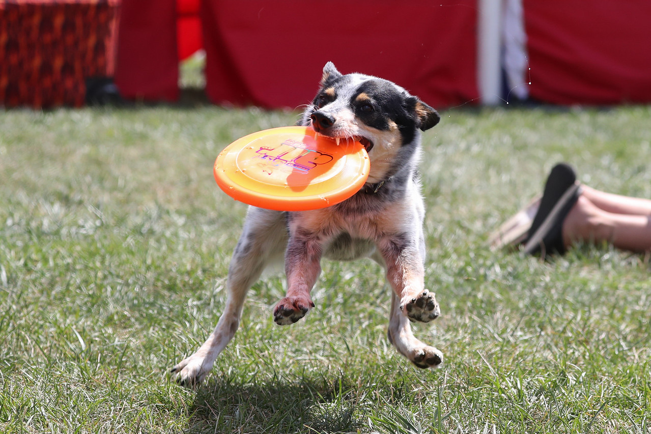 Nutrish Frisbee Dogs (05 Aug 2017)