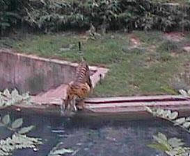 A tiger at the National Zoo