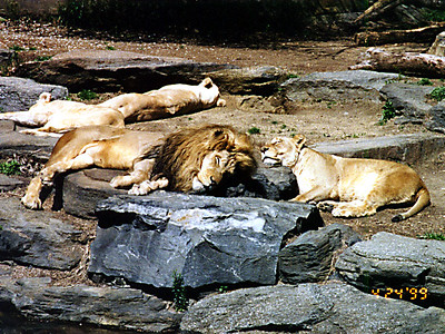 Lions at rest at the Philadelphia Zoo.