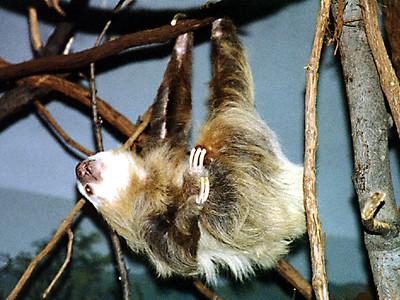 A sloth at the Philadelphia Zoo.