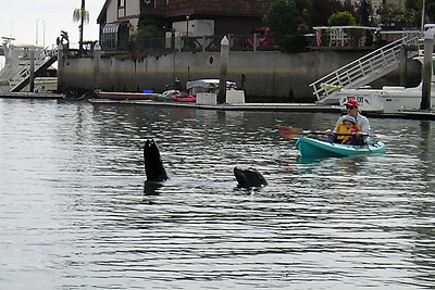 This sea lion, which just swam past our boat and spashed us with its flipper, is on to its next target--a couple of Texans that have a vacation home in the Channel Islands Harbor.