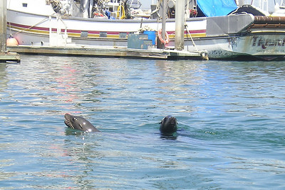A couple of sea lions in the Channel Islands Harbor. During our leasurely cruise, the kids counted eight sea lions, none of which wanted to splash us today!