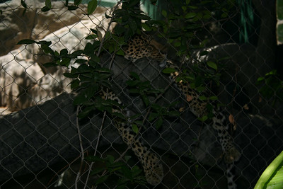 A jaguar in the Secret Garden at the Mirage Casino.