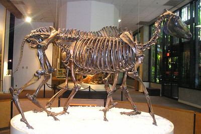 A reconstructed skeleton of a prehistoric horse that was retrieved from a La Brea tar pit.