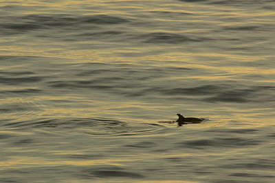 Dolphin swimming along the shore at sunset at El Capitan State Beach.
