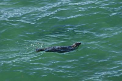 A seal swimming along the beach at El Capitan State Beach.