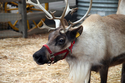 Santa's Reindeer Round-up