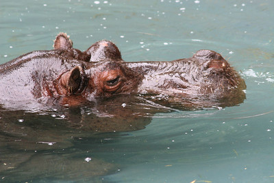 Hippopotamus live in the rivers, lakes, and swamps of the continent of Africa, south of the Sahara Desert. Even though hippos spend most of the day submerged in the water, they move out on dry land at night to feed on green grasses and other plants growing nearby. Male hippos can grow to 11 feet long and weigh up to 7,000 pounds. The smaller females seldom exceed 3,000 pounds. Hippos have a barrel-shaped body, stubby legs with webbed toes, and a large, heavy head with small ears and bulging eyes. Only whales have larger mouths than hippopotamuses. Los Angeles Zoo.