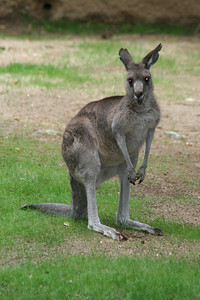 """Eastern Gray Kangaroo -- ORIGIN: forests and scrub forests of eastern Australia, northern Tasmania and Kangaroo Island. FOOD: grasses, broad-leafed plants and shrubs. FACTS: How many times does a kangaroo chew? Twice! At least 30 kinds of kangaroos, including gray kangaroos, regurgitate their food, rechew and reswallow. Male kangaroos are called """"bucks"""" or """"boomers,"""" females are """"does,"""" young ones are """"fliers,"""" and baby roos are """"joeys."""" A group of kangaroos is call a """"mob."""" Los Angeles Zoo."""
