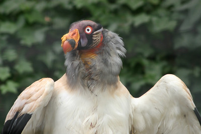 King Vulture --- ORIGIN: Tropical lowland forests and savanna regions of Central and South America from Mexico to northern Argentina. FOOD: Carrion (dead animal matter). FACTS: King vultures, like all American vultures, are scavengers and seldom attack live, healthy prey. Their large size and powerful bill enable King vultures to tear open the skin of recently killed large mammals--a feat that cannot be accomplished by smaller forect vulture species. Their extraordinary flying skills and keen eyesight enable King vultures to find food. Los Angeles Zoo.