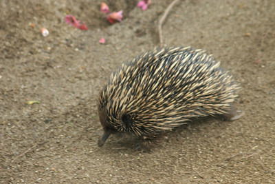 The echidna, like the platypus, is an unusual mammal that lays eggs and suckles its young. Echidnas are toothless and feed almost exclusively on ants and termites. They expose termite galleries by breaking open nests with their strong forepaws or snout or by digging into soil. They then extract the termites, which adhere to their long, sticky tongues. Echidnas are widely distributed throughout the Australian continent and Tasmania. Los Angeles Zoo