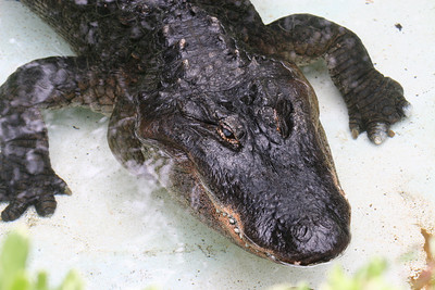 American Alligator -- Alligators live in slow-moving rivers, lakes, streams, canals, and swamps in the United States, from North Carolina south to Florida and as far west as Texas. They can tolerate saltwater for short periods, but generally live in freshwater. Los Angeles Zoo.
