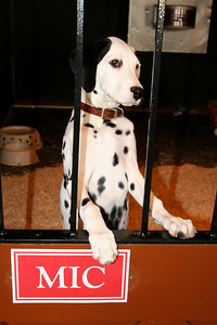 A dalmation in the Clydesdale Hamlet at the Anheuser-Busch brewery in Fort Collins.