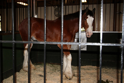 A Clydesdale horse in the Clydesdale Hamlet at the Anheuser-Busch brewery in Fort Collins.
