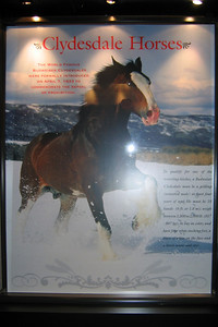"""This sign in the Clydesdale Hamlet at the Anheuser-Busch brewery in Fort Collins reads: """"Clydesdale Horses -- The world famous Budweiser Clydesdales were formally introduced on April 7, 1933 to commemorate the repeal of prohibition. To qualify for one of the traveling hitches, a Budweiser Clydesdale must be a gelding (neutered male) at least four years of age. He must be 18 hands (6 ft. or 1.8 m); weigh between 1,800 to 2,000 lb (817 - 907 kg); be bay in color; and have four white stocking feed, a blaze of while on the face and a black mane and tail."""""""