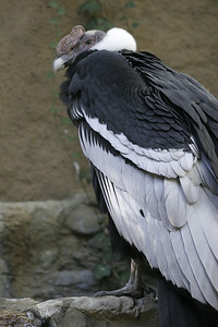 Andean Condor (Vultur gryphus) at the Los Angeles Zoo.  ORIGIN: Found usually over open grassland and alpine regions, away from humans, but also in the high regions of the Andes mountains, including the highest peaks, from Venezuela to Tierra del Fuego. Andean condors descend to lowland coastal regions to forage along the shorelines.   FOOD: Mostly carrion (dead animal) and eggs.   FACTS: The Andean condor is one of the largest of all flying birds. It is a vulture that weighs up to 28 lbs. and attains a wingspan of 10 ft. The great wingspan allows the Andean condor to lift its great weight off the ground. Once in the air it uses the warm air currents to soar through the air, hardly beating its wings.