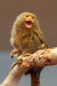 """A baby Pygmy Marmosets (Cebuella pygmaea / Leoncito) at the Los Angeles Zoo. I wanted to delete this out of focus picture (dang thing wouldn't stand still--it was bouncing off the wall of the nursery!), but Sydney objected, so here it is.  Pygmy Marmosets eat the sap of more than sixty plant species. They also eat insects. Infants are carried by members of their group, and sometimes parked at safe spots. In Columbia, these monkeys are known as Monos de Bolsillos, which means """"Pocket Monkeys."""""""