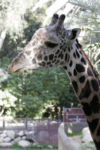 Giraffe, the tallest mammal, at the Los Angeles Zoo.