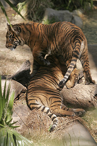 A couple of young tigers playing at the Los Angeles Zoo.