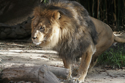 A large lion getting up to stretch at the Los Angeles Zoo.