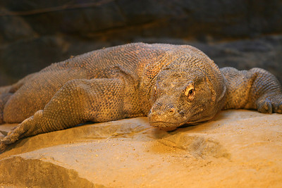The Komodo dragon is the world's largest lizard species. It is found mainly on the Indonesian islands of Komodo, Rintja, Padar, and Flores. Reaching lengths of up to 3 m or more, and weighing up to 126 kg, these reptiles are swift runners and climbers with great appetites for deer and wild boar. Los Angeles Zoo.