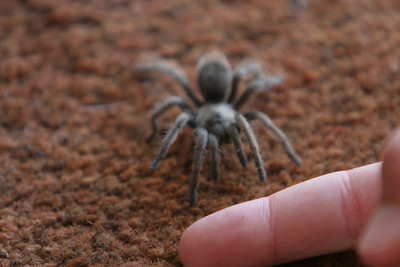 Donald catching a baby tarantula that crawled through the back door at Betsy and Frank's house in Lockwood.