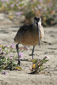 Long-billed curlew at Morro Strand State Beach.   From the Monterey Bay Aquarium's Online Field Guide:   You can identify these birds by their long, downward-curving bills and their large size--they're the largest sandpipers and the largest shorebirds in North America. Curlews use their long bills to probe deeply under soil and mud for insects, worms and burrowing spiders. Their dark, earthy-colored backs, speckled with buff and white, camouflage curlews on grassland breeding grounds. Their underparts are cinnamon colored.