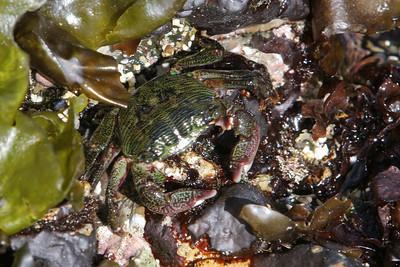 A small crab in the Corallina Cove tide pools at Montaña de Oro State Park.