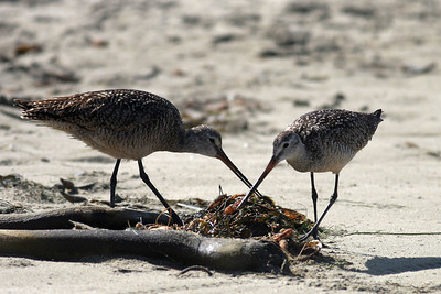 A couple of sandpipers (marbled godwits?) feeding on Morro Strand State Beach.