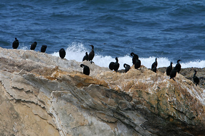 Pelagic Cormorant on the rocky shoreline of Montaña de Oro State Park.