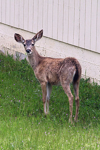 A deer near the Roth Lake House, which is located on Lake Nacimiento in the Oak Shores gated community.