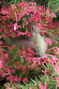 A hummingbird that came very close to us while we were playing a round of miniature golf near the Roth Lake House, which is located on Lake Nacimiento in the Oak Shores gated community.
