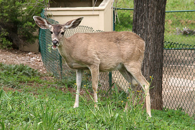 A deer near the Roth Lake House, which is located on Lake Nacimiento in the Oak Shores gated community