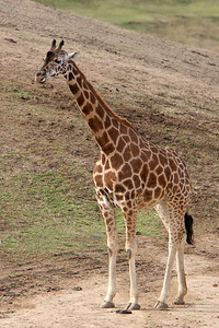 Giraffe at the Wild Animal Park. Giraffe live on the savanna in pockets of Africa, south of the Sahara Desert. Giraffes are the tallest land animals. A giraffe's 6-foot (1.8-meter) neck weighs about 600 pounds (272 kilograms). The legs of a giraffe are also 6 feet (1.8 meters) long. The back legs look shorter than the front legs, but they are about the same length. A giraffe's heart is 2 feet (0.6 meters) long and weighs about 25 pounds (11 kilograms), and its lungs can hold 12 gallons (55 liters) of air!